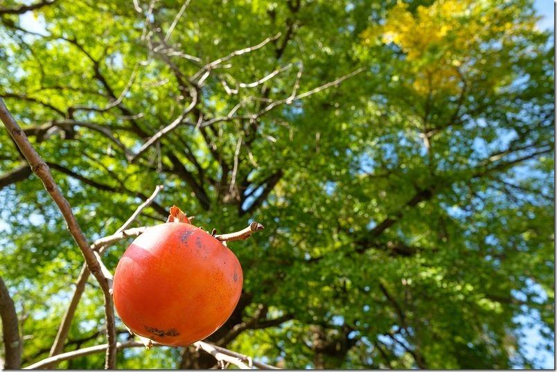 糸島,長石のお薬師様の大イチョウの紅葉の様子