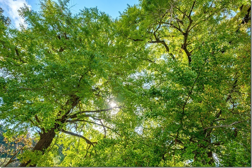 太陽の光に輝くイチョウの葉が綺麗,糸島