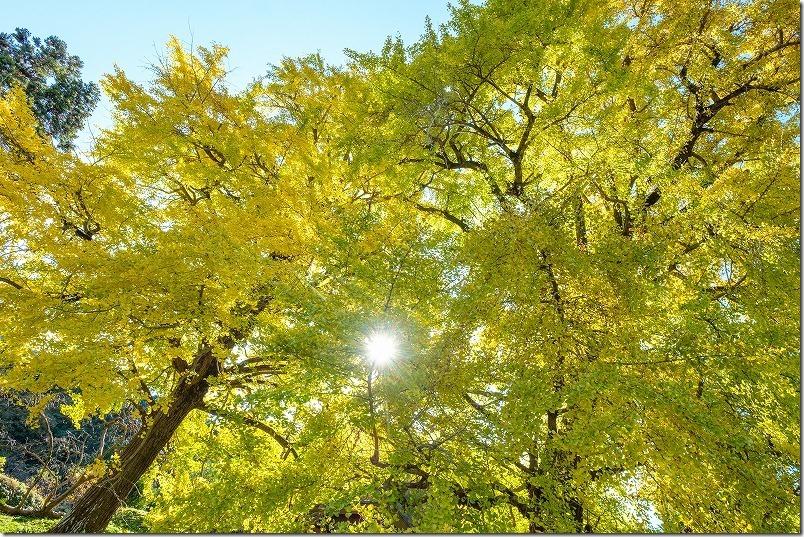 糸島、長石の大イチョウは見頃の紅葉