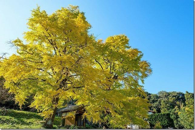 糸島、長石の大イチョウの紅葉2019