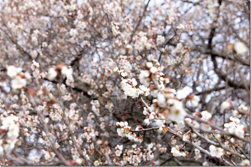 小富士梅林(糸島)の梅、開花状況、2020