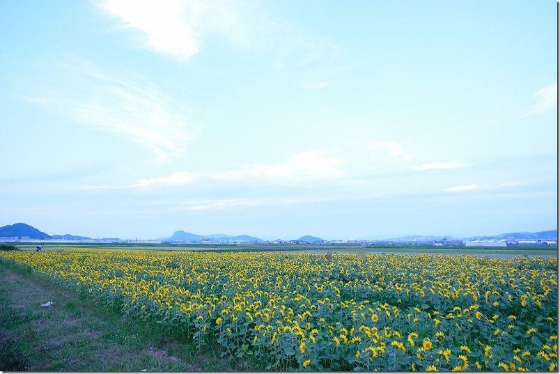 糸島市泊の畑にできた一面のひまわり畑