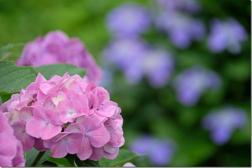 7月の白糸の滝の紫陽花