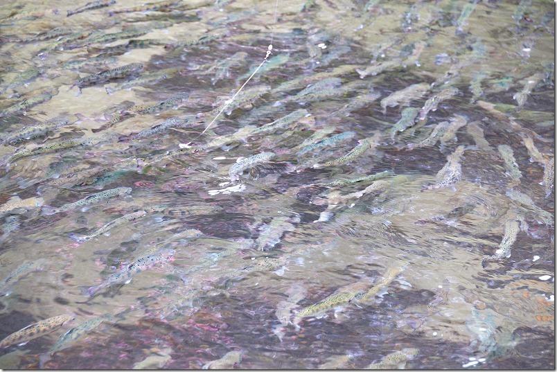 白糸の滝のヤマメ釣り