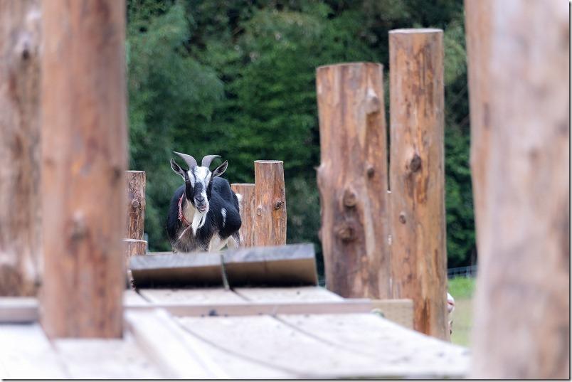糸島「やぎ牧場」をヤギを見学