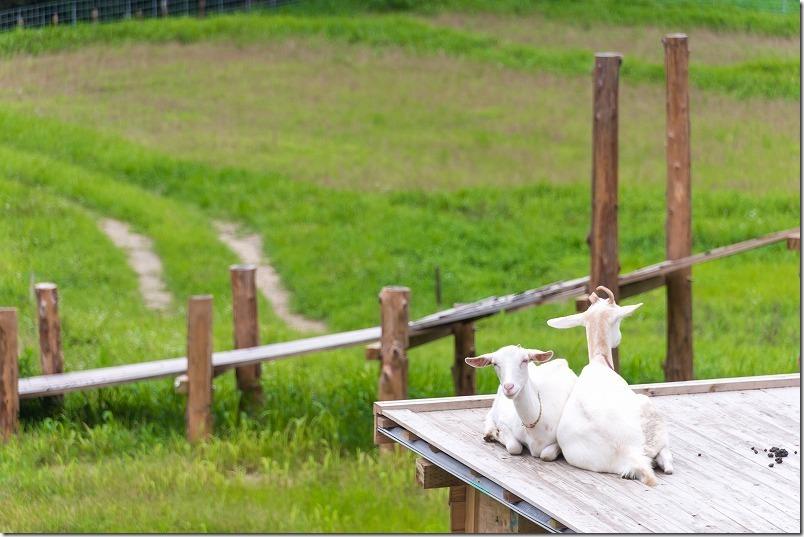 糸島「やぎ牧場」を白ヤギ