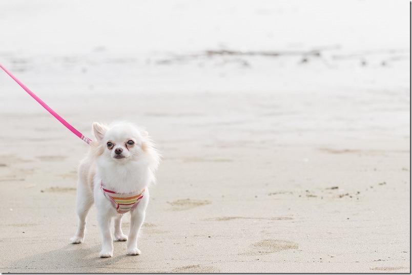 糸島でキャンプ、HIDEAWAY、sunset、campの浜辺を犬と散歩