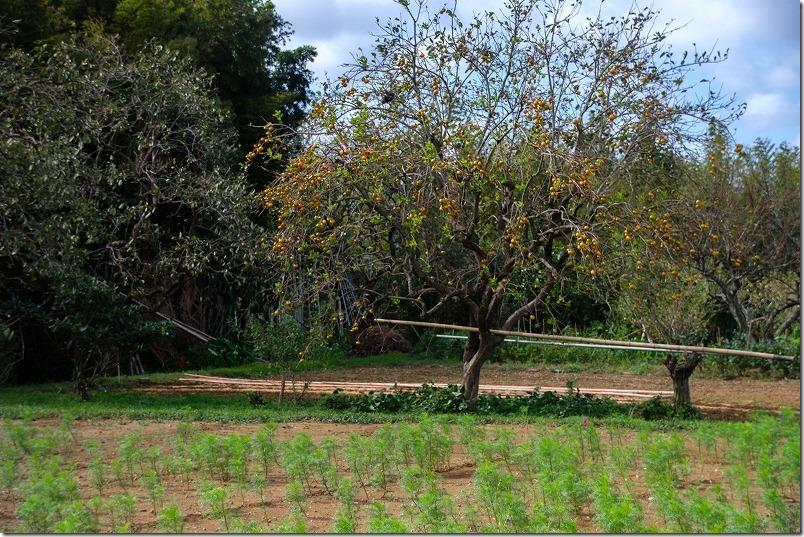 平原歴史公園のコスモス畑、開花状況