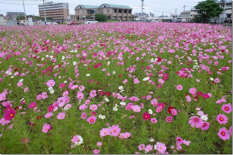 糸島、周船寺のコスモス畑の開花状況2020