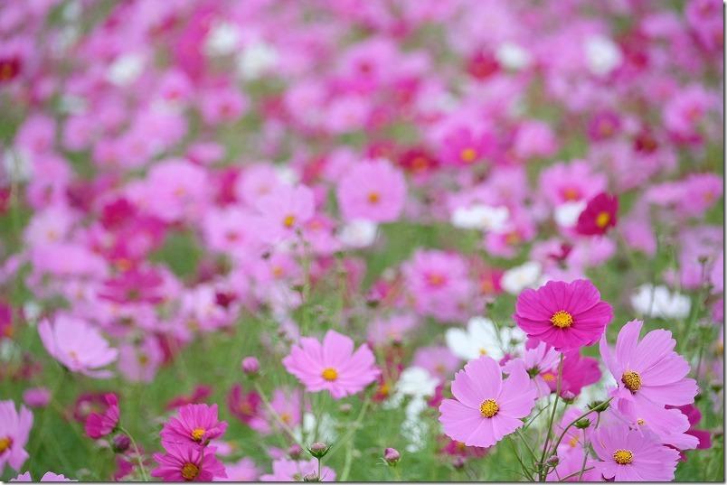 周船寺のコスモス畑の開花状況2020