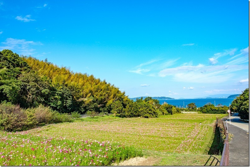 今津中田コスモス広場,開花状況10/17,糸島