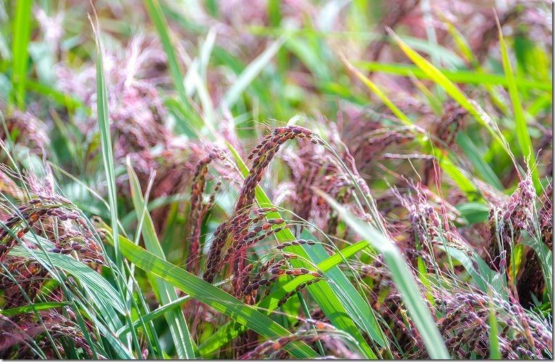 赤米の田んぼ、稲穂