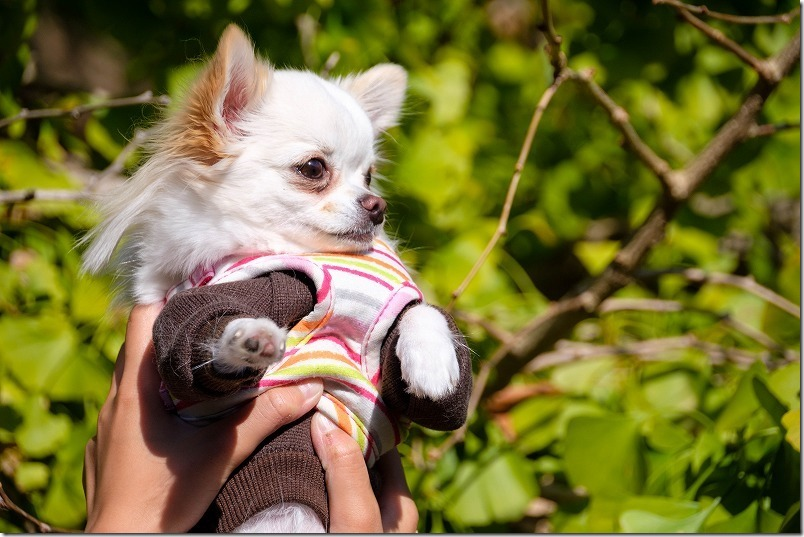 糸島,長石のお薬師様の大イチョウ,犬