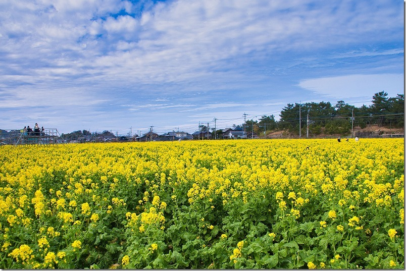 福ふくの里の菜の花畑、満開