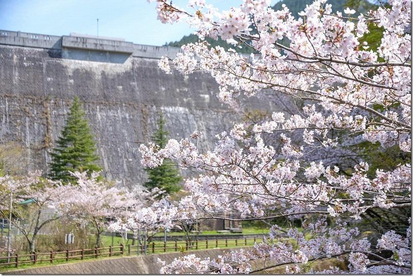 曲渕ダムと桜