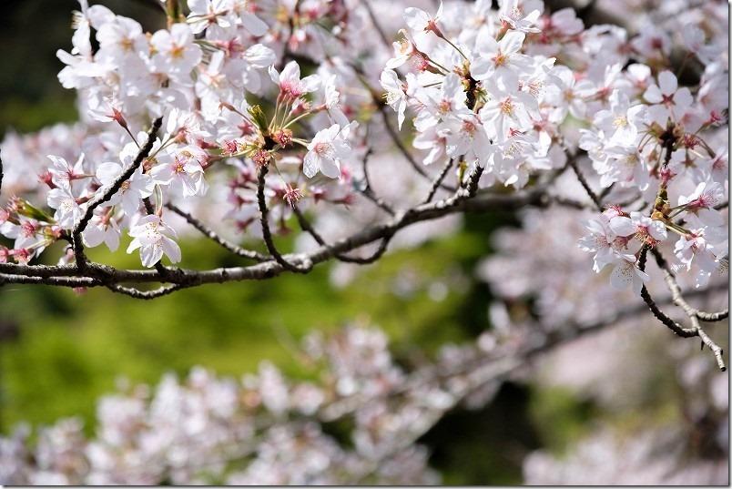 曲渕ダム公園の桜