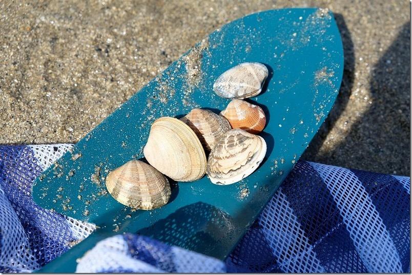 室見川の潮干狩りで取れた貝、アサリ