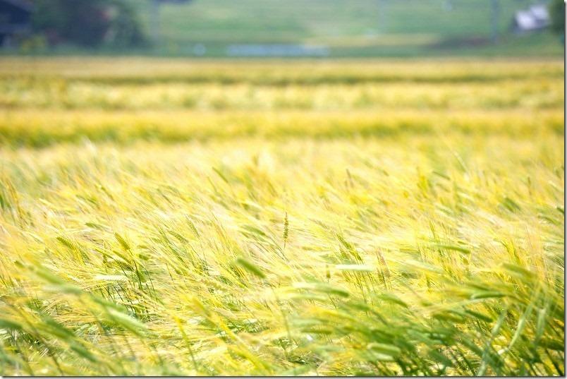 糸島こころ旅のゴール、井原1号墳から見える景色・麦畑