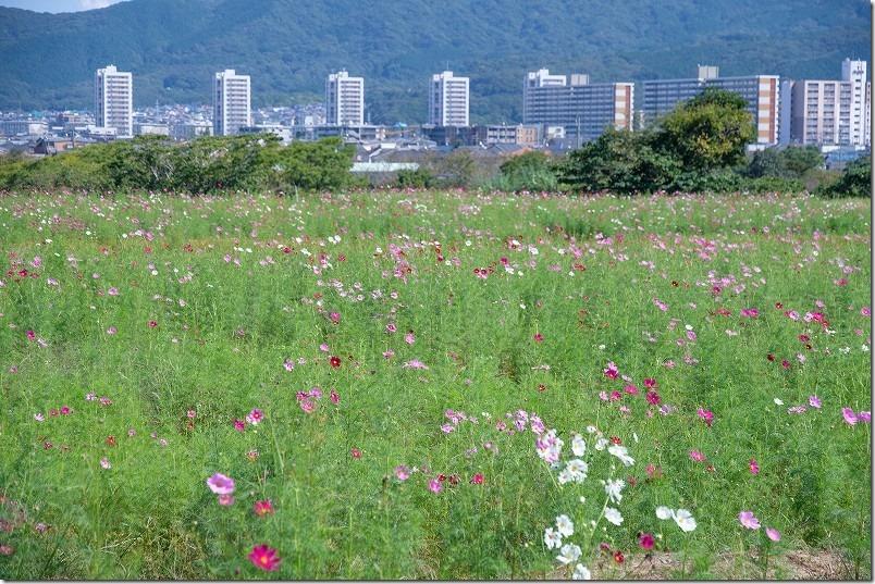 やよいの風公園のコスモス畑・開花状況、福岡市西区