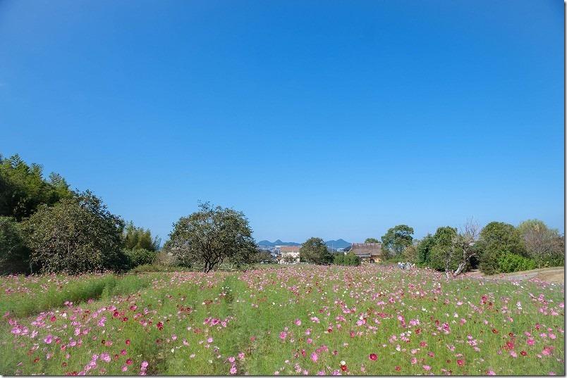 平原歴史公園のコスモス畑,開花状況,糸島