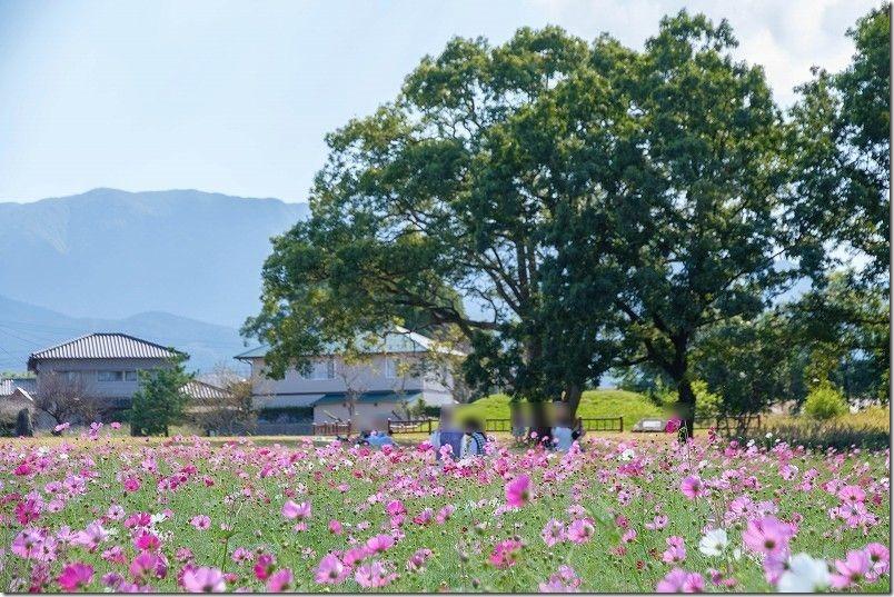平原歴史公園のコスモス畑
