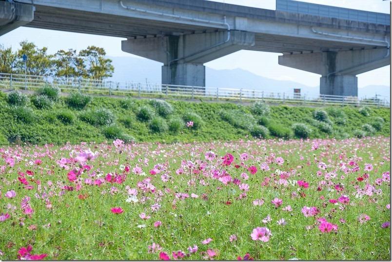 周船寺周辺のコスモス畑・開花状況(福岡市西区)