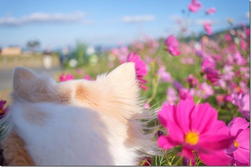 やよいの風公園のコスモス畑、犬と散歩
