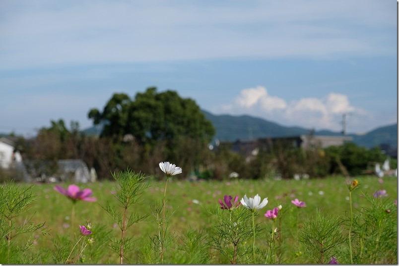 糸島、平原歴史公園、コスモス、開花状況、2021