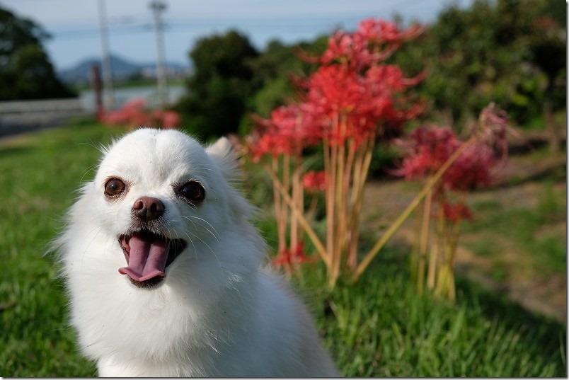 糸島、平原歴史公園の彼岸花